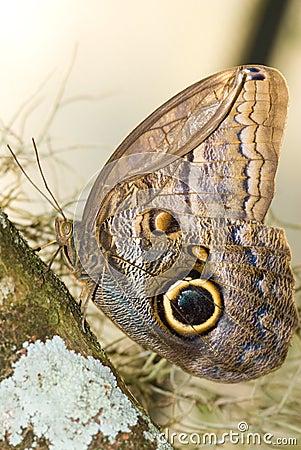 Owl Butterfly (Caligo idumeneus)