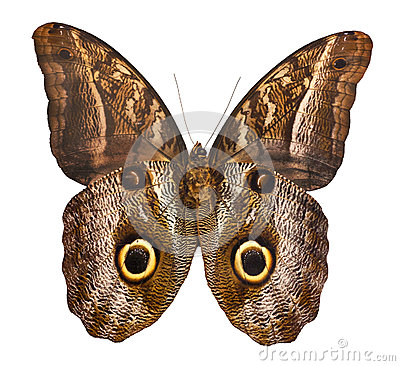 Free Owl Butterfly Isolated On White Background Stock Photos - 25574003