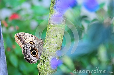 Owl butterfly on tree