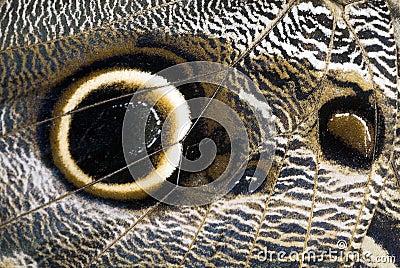 Owl Butterfly Wing Macro