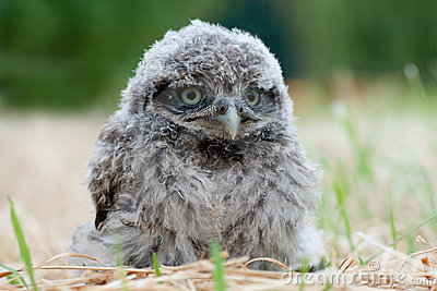 Owl chic