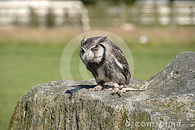 Owl in Cornwall