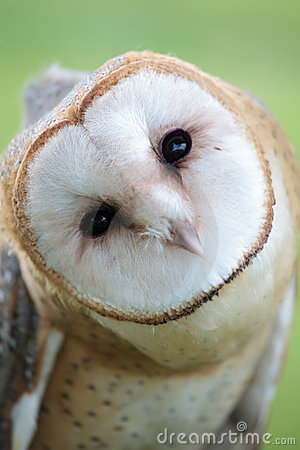 Free Owl Face Stock Photography - 10650952