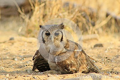 Owl, Giant Eagle - African Eyes