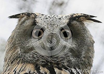 Owl glance