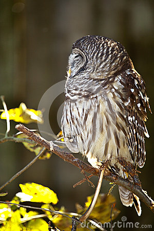 Owl Hiding its Face