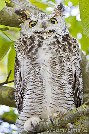 Owl Lazing In Tree