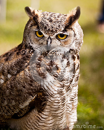 Owl long ears