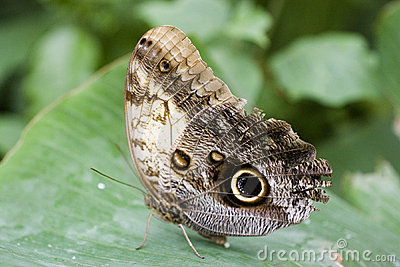 Owl Moth laying egg