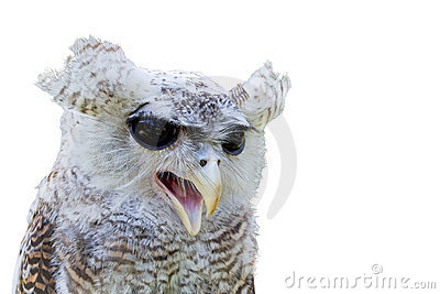 Owl with open beak isolated on white