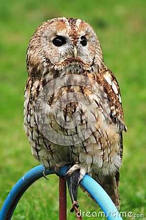 Owl on a perch