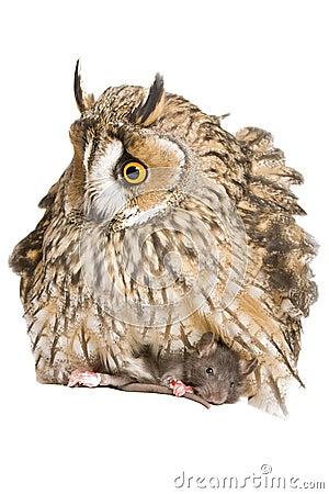 Owl with pray