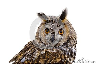 Owl, predator, isoletated.
