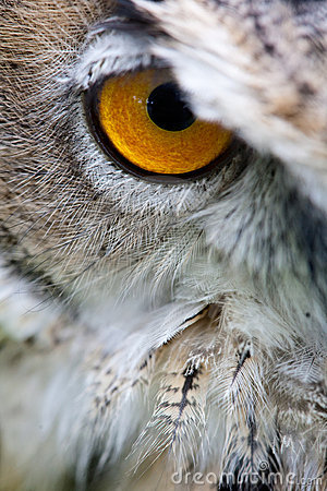 Owl s eye close staring into camera