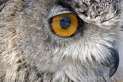 Owl staring out