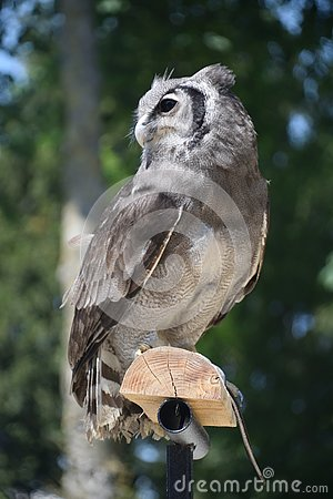 Free Owl Waiting For Pray On A Tree Stock Photo - 133406760