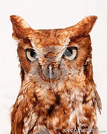 Owl on white
