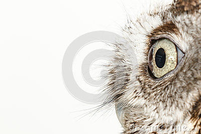Owl on white background
