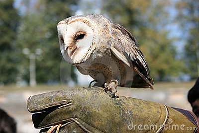 Owlet 5