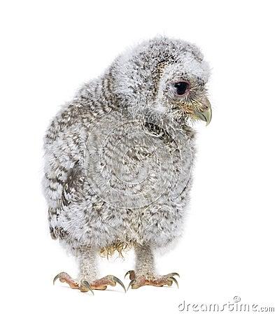 Owlet- Athene noctua (4 weeks old)