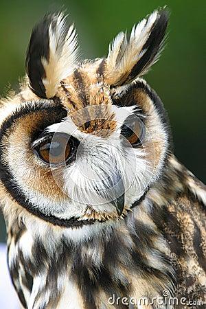 Owls (rhinoptynx clamator)