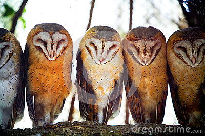 Owls on tree branch Stock Photo