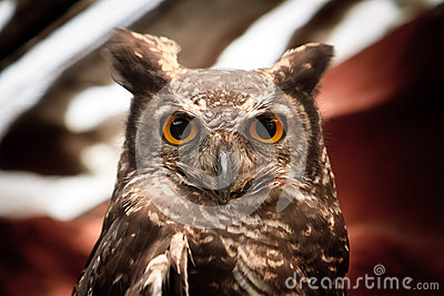 Owlstående som stirrar på kameran