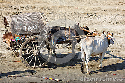 Ox cart taxi transportation in Myanmar