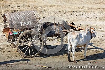 Ox cart taxi transportation in Myanmar