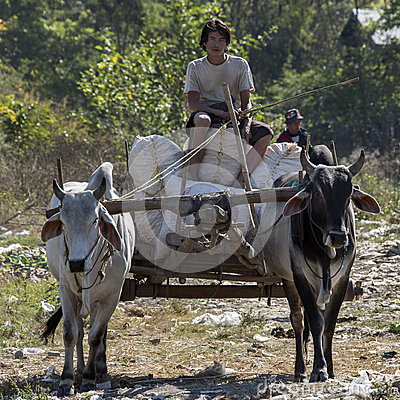 Ox and Cart - Inle - Myanmar (Burma) Editorial Stock Photo