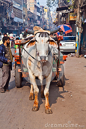 Free Ox Cart Transportation On Early Morning In Delhi, India Stock Photography - 33908592