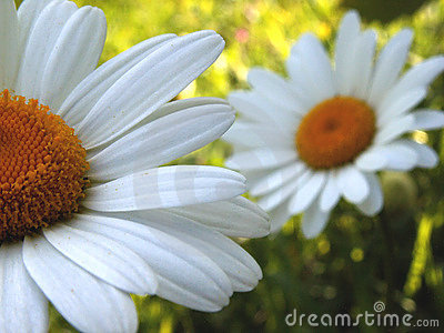 Ox-eye daisy 1