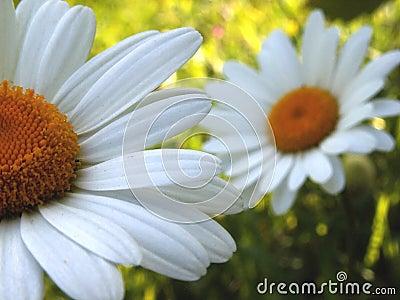 Ox-eye daisy 1