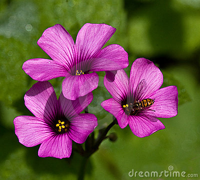 Oxalis Blooms with Bee