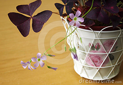 Oxalis triangularis - ornamental potted plant