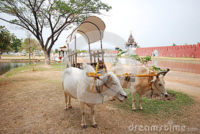 The oxen pulling ox cart