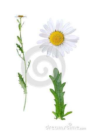 Free Oxeye And Details Stock Photography - 56210472