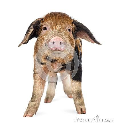 Oxford Sandy and Black piglet, 9 weeks old