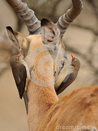 Oxpecker on the Head