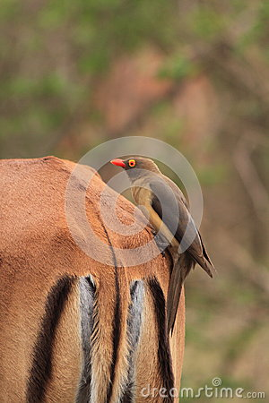 Oxpecker sitting on impala back.