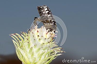 Oxythyrea funesta / White-spotted Rose Beetle