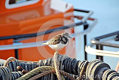 turnstone bird in fishing harbour