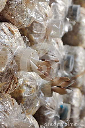 Free Oyster Mushrooms In Growing Bag Stock Photography - 28135322