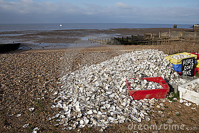 Oyster recycling in Whitstable,