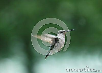Pájaro 2 del tarareo