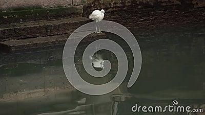 Pájaro blanco sentado junto al agua en Venecia almacen de metraje de vídeo