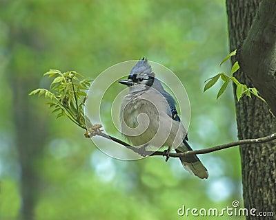 Pájaro de Jay
