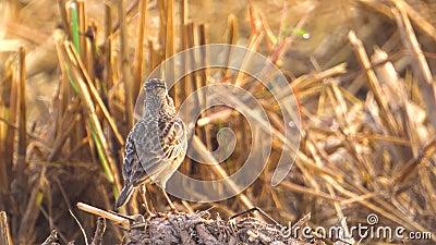 Pájaro de la alondra que canta para llamar a sus amigos en el campo de arroz Cierre para arriba Luz del sol de la mañana 1 metrajes