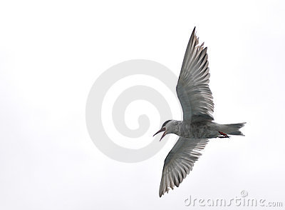 Pájaro de vuelo - lago Naivasha (Kenia - África)
