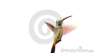 Pájaro del tarareo en el fondo blanco